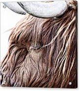 Highland Cow Color Acrylic Print by John Farnan