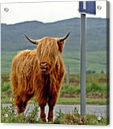 Highland Cow Acrylic Print by David Davies