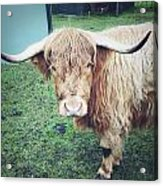 Highland Cow Acrylic Print by Les Cunliffe