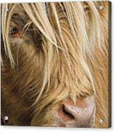 Highland Cow Portrait Acrylic Print