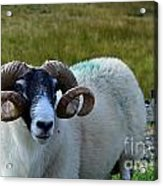 Highland Sheep Acrylic Print