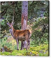 Highland Stag Acrylic Print