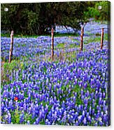 Hill Country Heaven - Texas Bluebonnets Wildflowers Landscape Fence Flowers Acrylic Print
