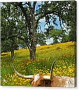 Hill Country Longhorn Acrylic Print