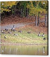 Hillside Of Canadian Geese Acrylic Print