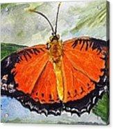 Himalayan Red Lacewing Acrylic Print
