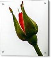 Hint Of A Rose Acrylic Print