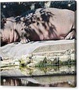 Hippo At Leisure Acrylic Print
