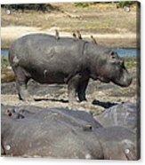 Hippo - Family Acrylic Print