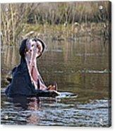 Hippo Yawning Acrylic Print