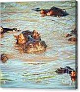 Hippopotamus Group In River. Serengeti. Tanzania Acrylic Print