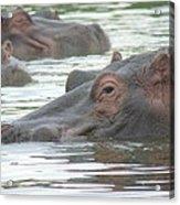 Hippopotamus In Kenya Acrylic Print