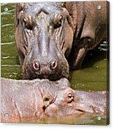 Hippopotamus In Water Acrylic Print