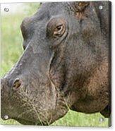 Hippopotamus Okavango Delta Botswana Acrylic Print