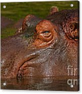 Hippopotamus With Its Head Just Above Water Acrylic Print