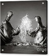 Hippo's Fighting Acrylic Print