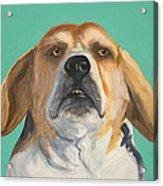 His Beagleness Acrylic Print
