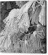 Hoar Frost On Pine Branches Acrylic Print