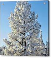 Hoar Frost Ponderos Pine Tree, Sundance Acrylic Print