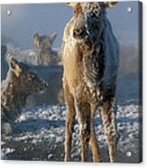 Hoarfrosted Elk Calf Acrylic Print