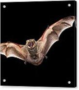 Hoary Bat Male Georgia Acrylic Print