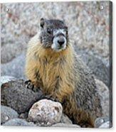 Hoary Marmot Acrylic Print