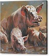 Hog Heaven Acrylic Print