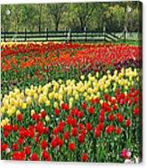 Holland Tulip Fields Acrylic Print