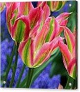 Holland Tulips Acrylic Print