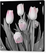 Holland Tulips In Black And White With Pink Acrylic Print