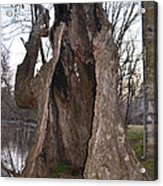 Hollow Tree At Mather Mill Acrylic Print