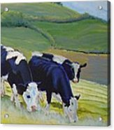 Holstein Friesian Cows Acrylic Print