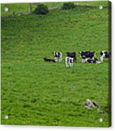 Holsteins Acrylic Print by Bill Wakeley