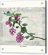 Ribes Sanguineum - California Currant Acrylic Print