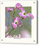 Flowering Dogwood - 'cherokee Chief' Acrylic Print by Saxon Holt
