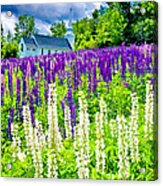 Holy Lupines Acrylic Print