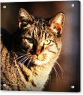 Homeless Cat Acrylic Print