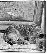Homeless Dog Acrylic Print