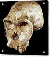 Homo Habilis Cranium (oh 24) Acrylic Print by Science Photo Library