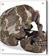 Homo Neanderthalensis Cranium (tabun 1) Acrylic Print