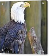 Homosassa Springs Bald Eagle Acrylic Print