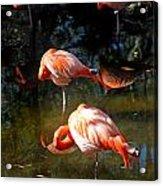 Homosassa Springs Flamingos 5 Acrylic Print