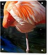 Homosassa Springs Flamingos 7 Acrylic Print
