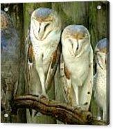 Homosassa Springs Snowy Owls 2 Acrylic Print