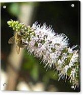 Honey Bee 3 Acrylic Print