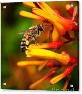 Honey Bee 4 Acrylic Print