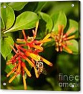Honey Bee 6 Acrylic Print