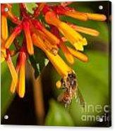 Honey Bee 7 Acrylic Print