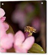 Honey Bee And Crabapple Acrylic Print