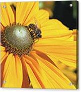 Honey Bee And Yellow Dahlia Flower Acrylic Print